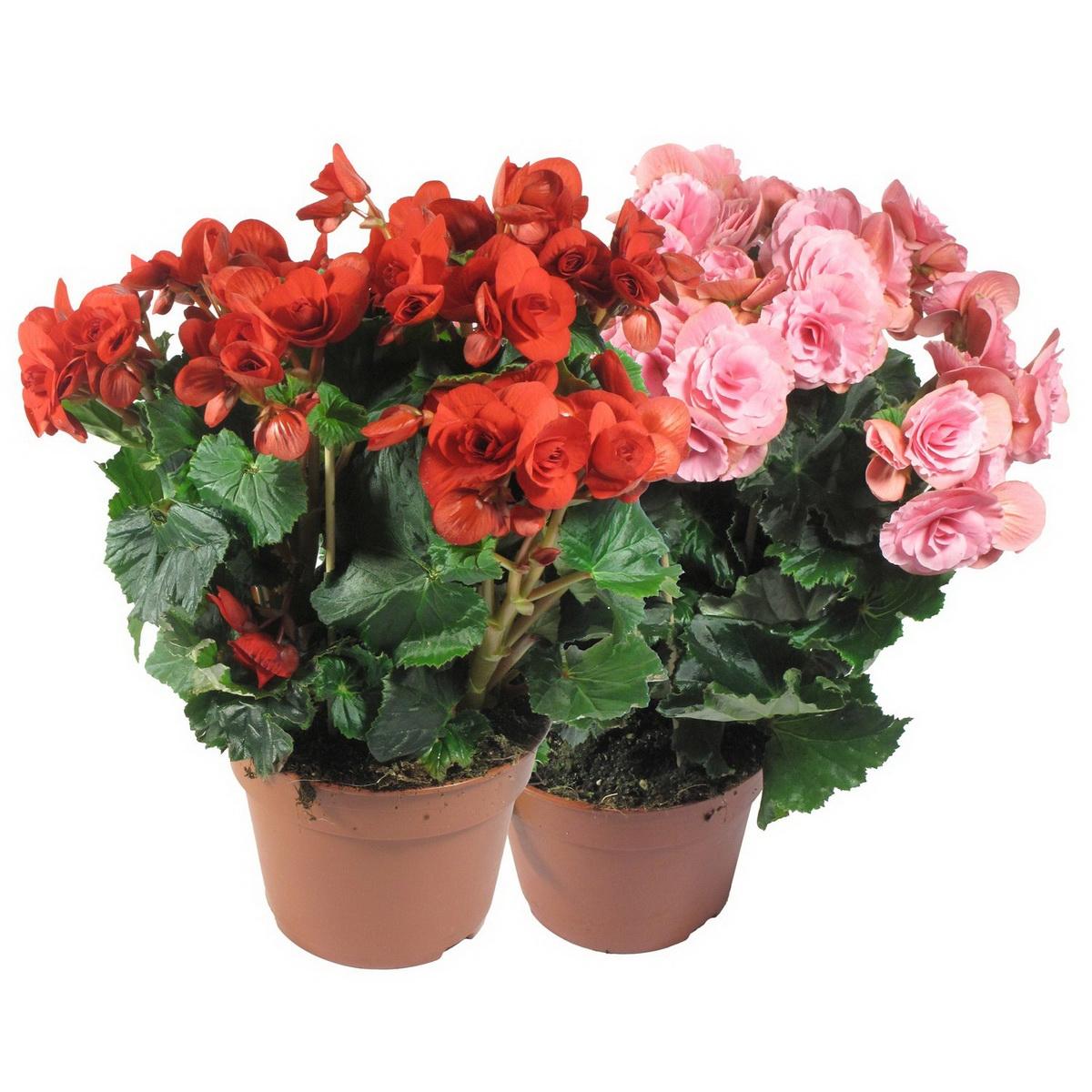 Домашние цветы в горшках и картинки